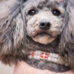 犬の認知症で急に暴れるのはなぜ?遠吠えがうるさいのは前兆なの?